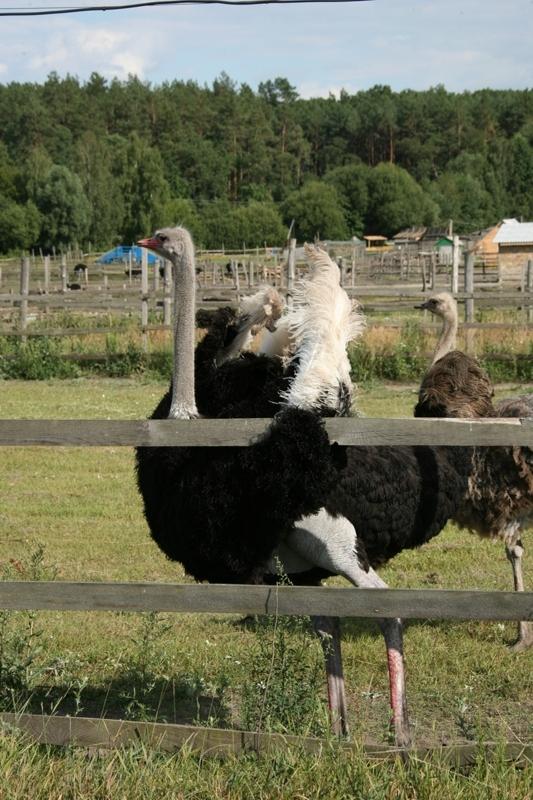 в Украине страусиную ферму